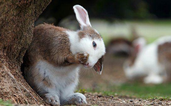 conejo aseandose