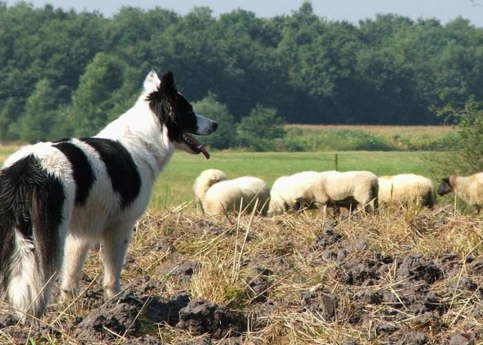 Border Collie raza pastor de ovejas