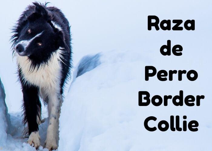 raza de perro Border Collie